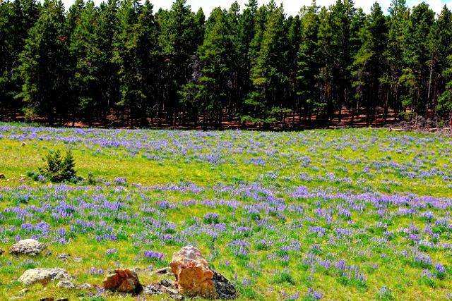 Thinking Spring and The Wildflowers of Yellowstone